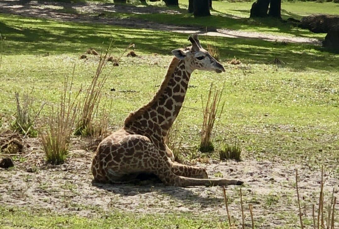 Giraffe at Kilimanjaro Safari