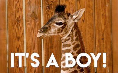 There's a New Baby Boy Giraffe Calf at Disney's Animal Kingdom Theme Park