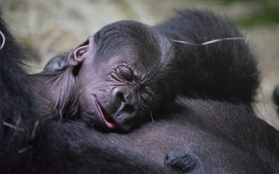 Disney Reveals the Name of the New Baby Gorilla!